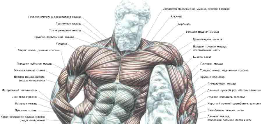 Каждая из этих мышц,